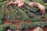 【画像】茶畑を占領する象がヤバいwwwwwww